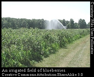 blueberry irrigation