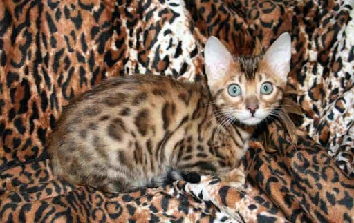most expensive animals - bengal cat (funniest area)