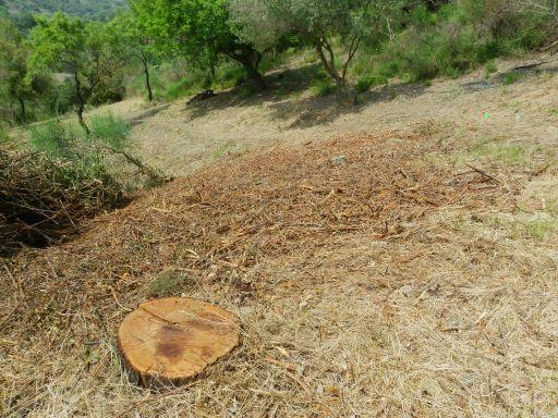 Alguns arbres tallats a ran del cami