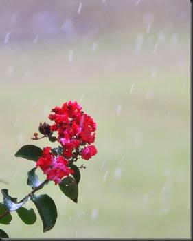 myrtle in the rain1