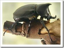 rhinocerosbeetle