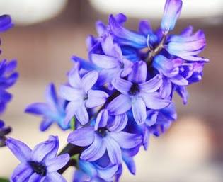 [hyacinths4.jpg]