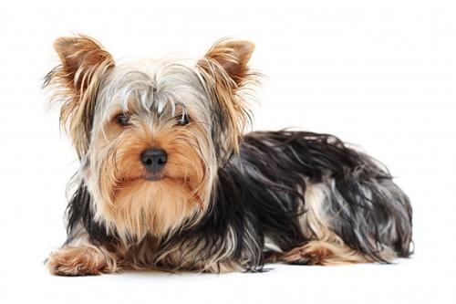 comprar cachorros de raça