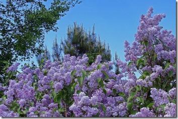 Amazing_Purple_Flowers_18
