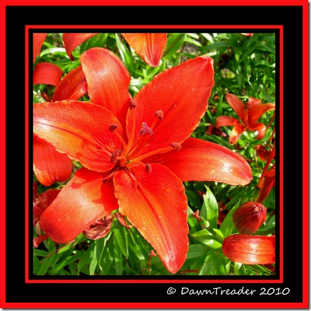 Red Lily Collage6-1-DawnTreader