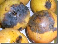stem_end_rot__mango_1