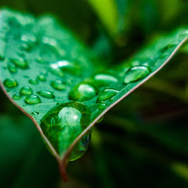 After the rain by Yusuf Anshori - Nature Up Close Leaves & Grasses ( water, fresh, drop, freshness, morning, leaves )