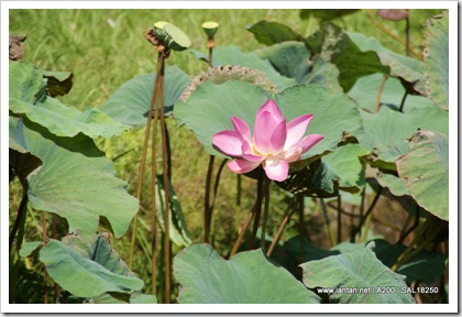 Taman Ayun Lotus Plants