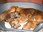 dachshund puppies.jpg