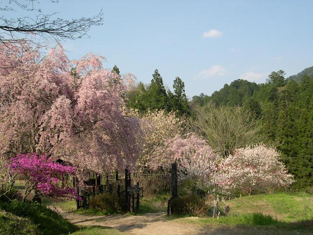 Cherry blossoms along Kisos nakasendo 中山道