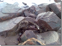 Dead Seal Skeleton on Carnoustie Beach