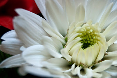 Chrysanthemum, macro flower photography