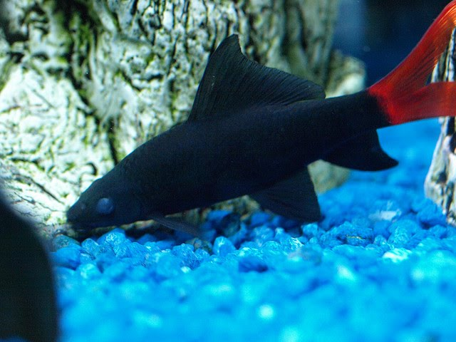 Albino red tailed black shark exotic tropical ornamental for Red tail shark fish