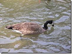 Ducks KOA 2011 (4)