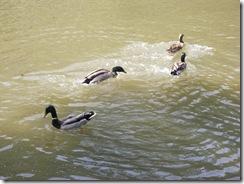 Ducks KOA 2011 (5)