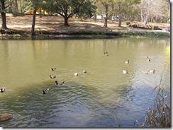 Ducks KOA 2011 (6)