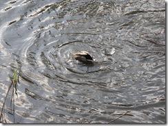 Ducks KOA 2011 (10)