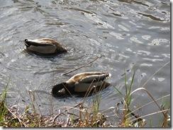 Ducks KOA 2011 (11)