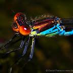 Dragonflies by Daniel Petrescu