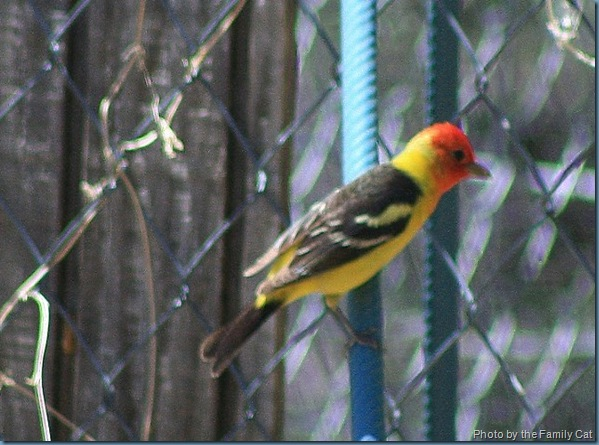 Western Tanager 640x394
