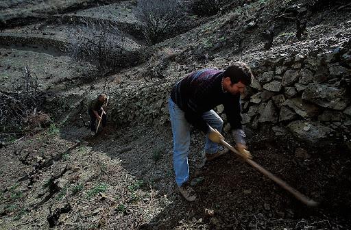 Empeltat de vinyes velles al coster del Riuet, DOQ Priorat, La Vilella Baixa, Priorat, Tarragona 2003.02