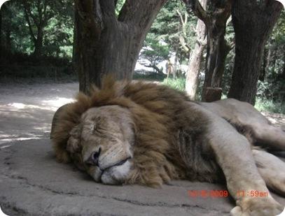 huge lion
