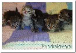 Image of Siberian kittens at two weeks old.