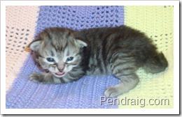 Image of Silver Siberian Kitten.
