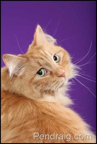 Image of red solid Siberian cat with green eyes.