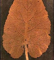 Chamada de desenho fotogênico, a imagem mostra uma folha empressa em um papel sensível à lluz