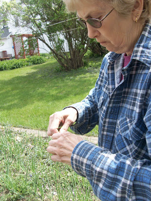 Sherry Sass picks the dirt off a a table onion in her garden near Riverside (KCII NEWS)