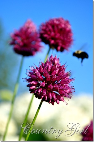 allium and bee-4