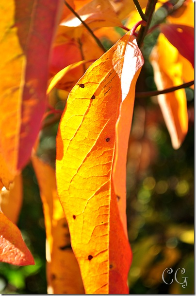 orange leaf-1