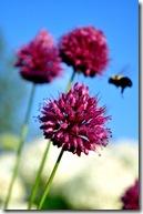 allium and bee-4