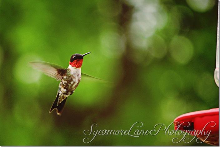 hummingbird-w
