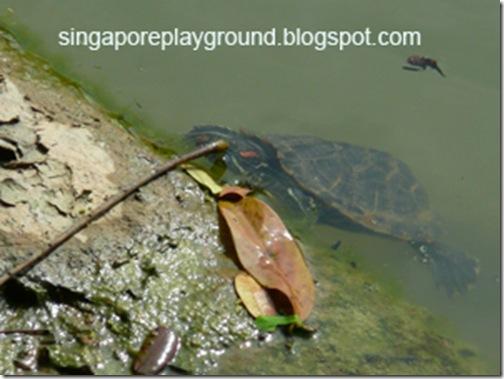 sbg turtle