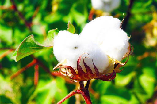 Baig takes up cotton export issue with India
