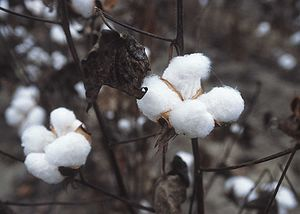 High prices have US farmers planting more cotton