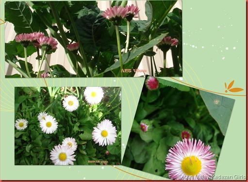 english daisy 2