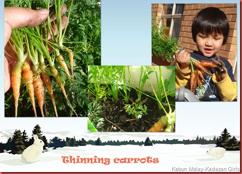 thinning carrots copy