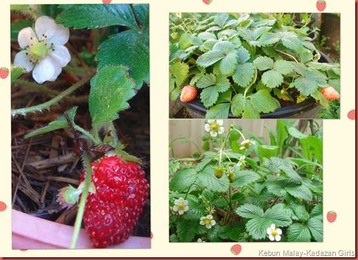 alpine berry