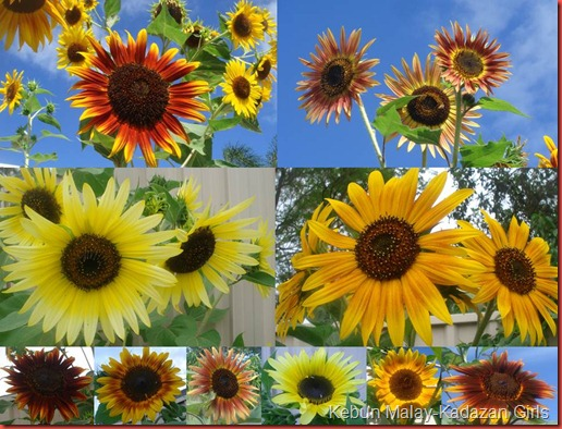 colourful evening sun sunflower
