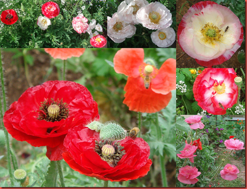 Shirley double Mixed poppy