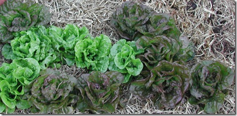 Green and red-brown mignotte lettuces  capsicums