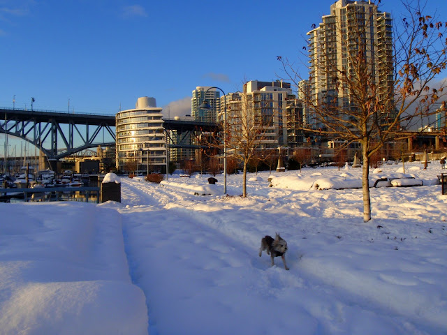 Brubin running, False Creek, Vancouver Christmas Day