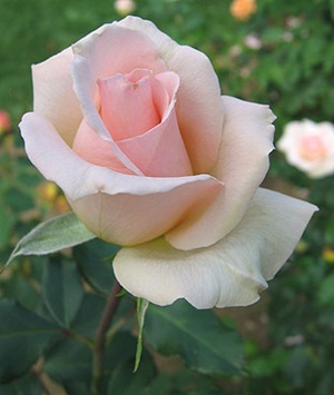 light_pink_rose_01