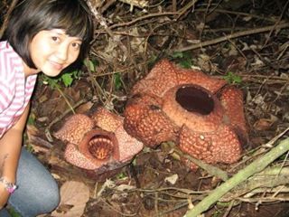 rafflesia