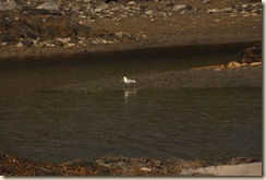 sea gull at low tide