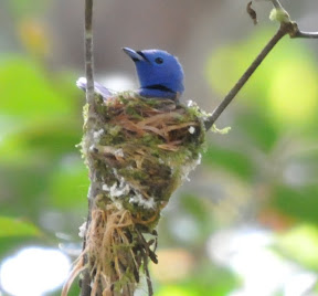 Black-naped Monarch & Panti Photos