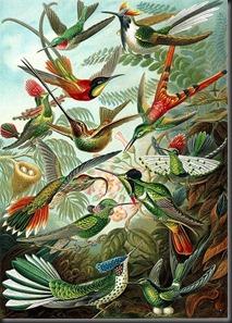 427px-Haeckel_Trochilidae